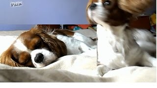 Cavalier King Charles Spaniel - I Slept, When My Owner Get Home - [paca]