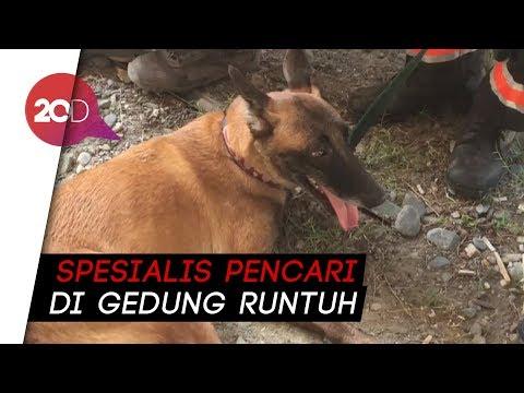 Guk! Anjing Pelacak Bantu Cari Korban Gempa Sulteng