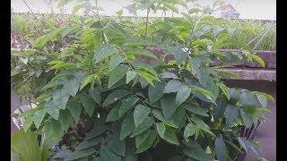 Thu hoạch rau bồ ngót và trái bồ ngót để giống  . | Khoa Hien 41