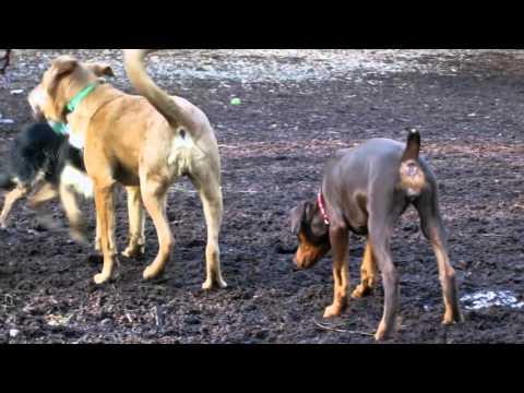 Dominance at the Dog Park