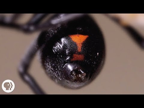 Why the Male Black Widow is a Real Home Wrecker | Deep Look