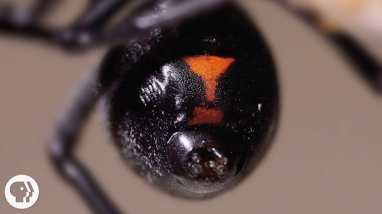 Why the Male Black Widow is a Real Home Wrecker | Deep Look 4