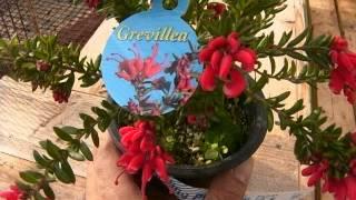 オーストラリア原産のグレビレアの育て方。 動画作成:花の館 http://ha...