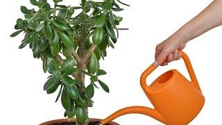 Денежное дерево Приметы и суеверия