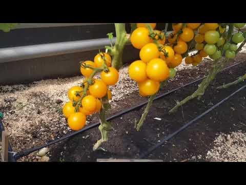 Черри томаты. Вкусные и урожайные. Обзор демонстрационной теплицы 2018!