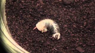 カブトムシ幼虫の脱皮を観察してみました 短縮編集して1分前後の動画で4...