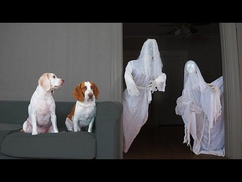 Dog vs Ghost Prank: Funny Dogs Maymo & Potpie Halloween Pranks