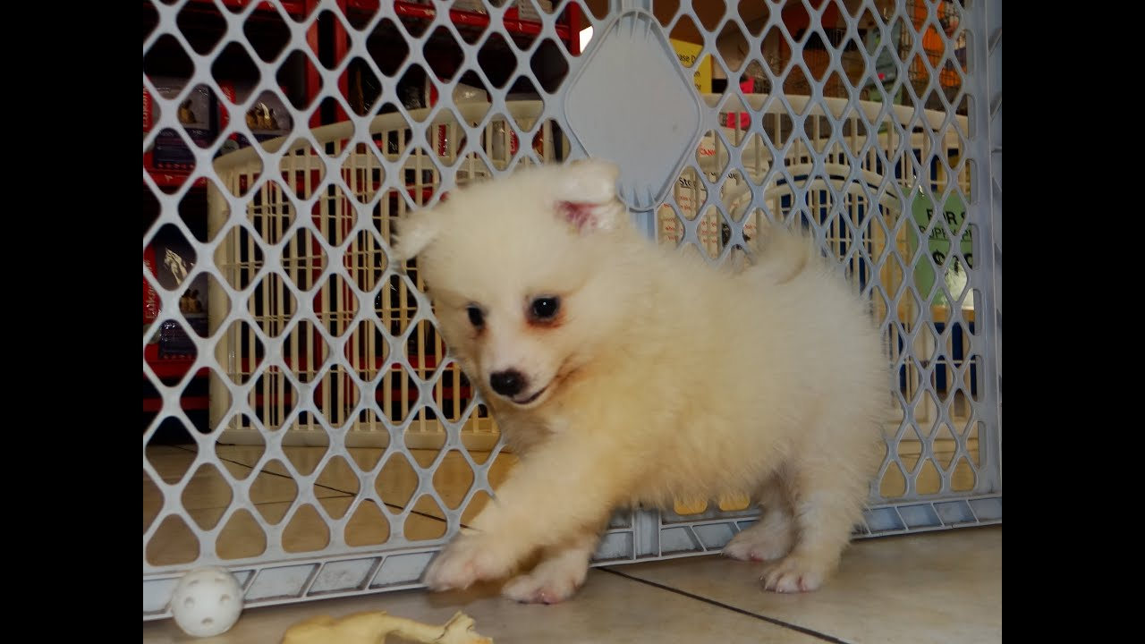 American Eskimo, Puppies For Sale, In San Francisco, California, CA ...