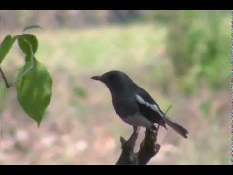 Female of Oriental Magpie Robin Copsychus saularis  by Shirishkumar