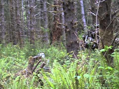 Bigfoot shootout Sasquatch hunting Olympic peninsula