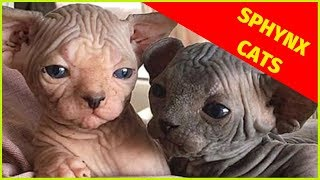 Sphynx Cats  Cutest Sphynx Cats Clips