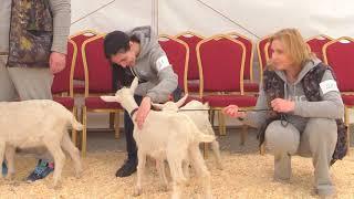 Вторая Всероссийская выставка молочного козоводства. Зааненские козы, в возрасте до шести месяцев