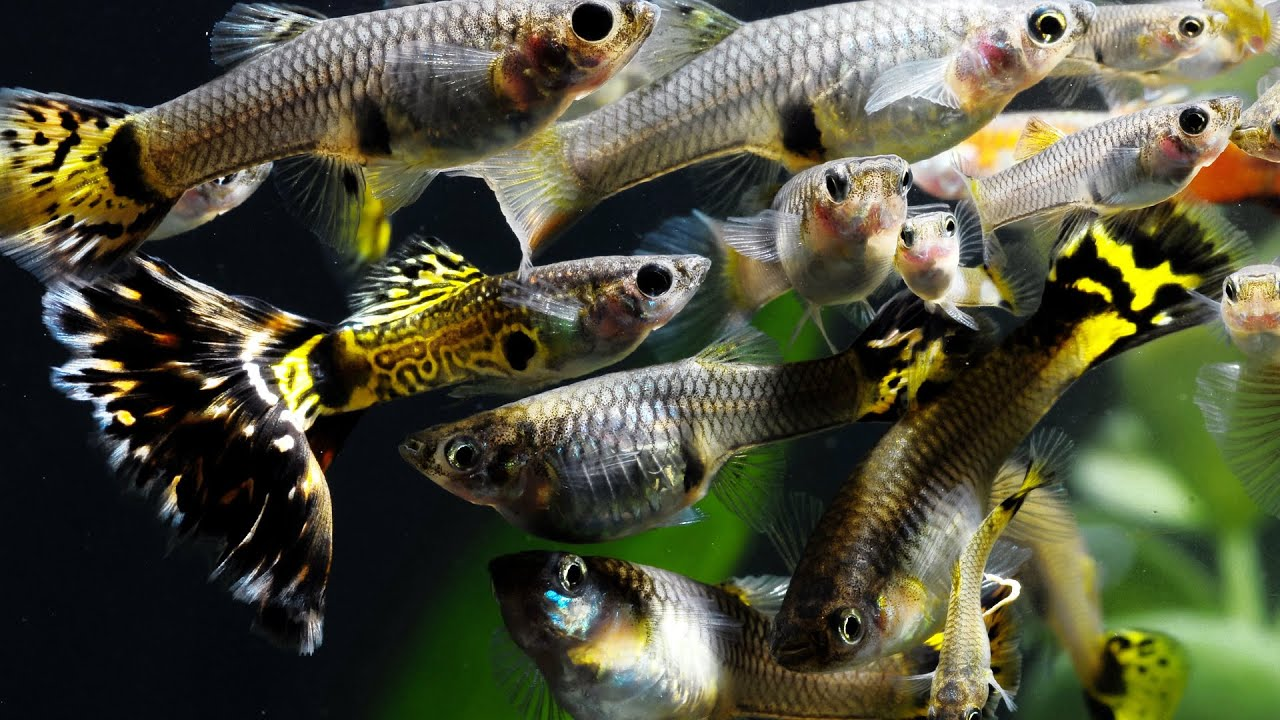 How to Breed fish for Profit. Part 1. Fancy Guppies, Java Moss ...