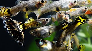How to Breed fish for Profit. Part 1. Fancy Guppies, Java Moss, Cherry Shrimp, African Cichlids.