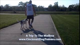 1yr Old Australian Shepherd Beagle Board & Train- Cincinnati Dog Trainers Off Leash K9