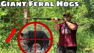 Giant Feral Hogs VS Blowgun - Day 11 of 12 Day Budget Survival Challenge