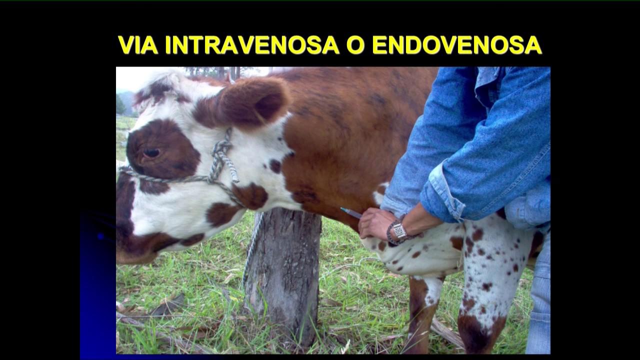Resultado de imagen para administración via intravenosa en animales