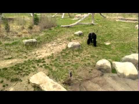 Gorilla vs Goose- Barney gets chased by a Canadian goose