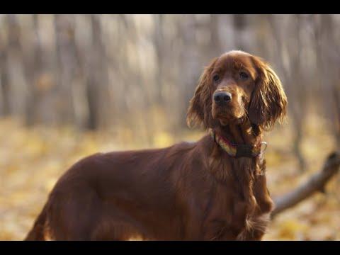 Ирландский сеттер! Моя лучшая в мире собака!