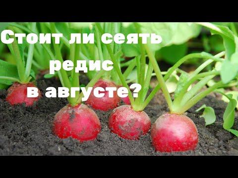 Стоит ли сеять редис в августе?