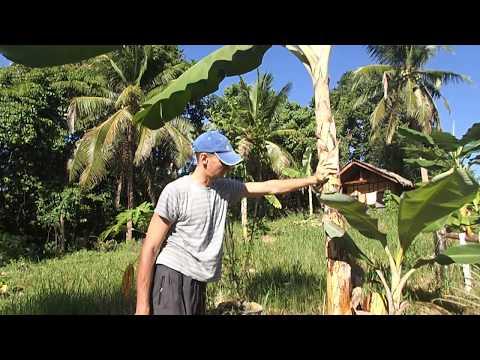 Как растут бананы у нас на участке 25 сентября 2017