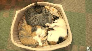 にゃー! ごはんを食べたら寝る14匹の猫たち