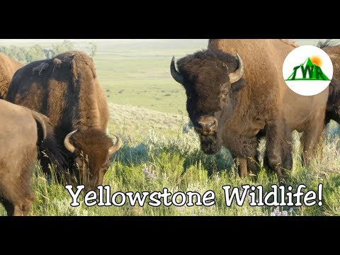 Yellowstone Wildlife Documentary: Official Trailer