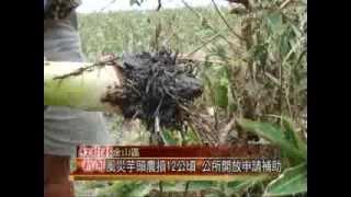 1020731紅樹林有線新聞 風災芋頭農損12公頃 公所開放申請補助