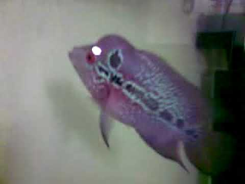 Flowerhorn Fish Baby - YouTube