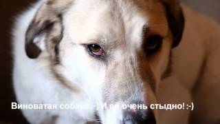 Виноватая собака Риша| Ей очень стыдно! :-) |Собаки из приюта Дари добро в Новосибирске