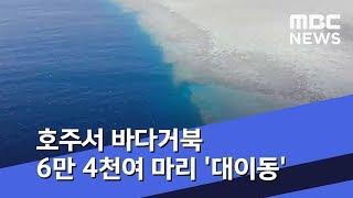 [이 시각 세계] 호주서 바다거북 6만 4천여 마리 '…