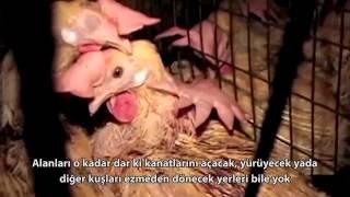 yumurta ve tavuk ciftliklerinin gercek yuzu (vegan türkiye)