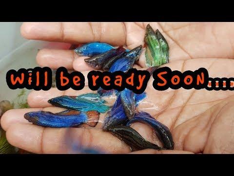 Betta Fish Male Shorting..