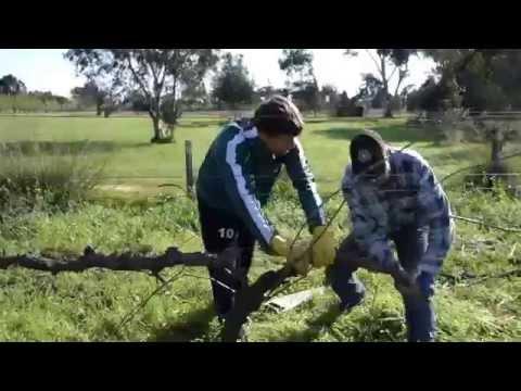 Organic VIneyard Pruning in Perth's Swan Valley