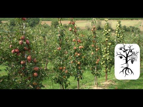 Berühmt Das solltest du über Säulenbäume wissen! Schlanke Äpfel, Kirschen &TZ_57