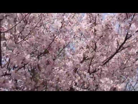 Fukushima Contamination; Radioactive Reallity in Tokyo, 03/31/2016