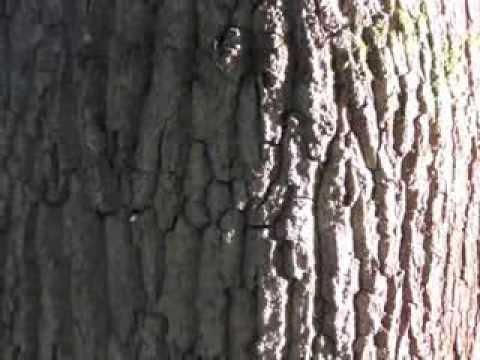 Connu Apprendre à reconnaitre un arbre : le chêne - YouTube LL47