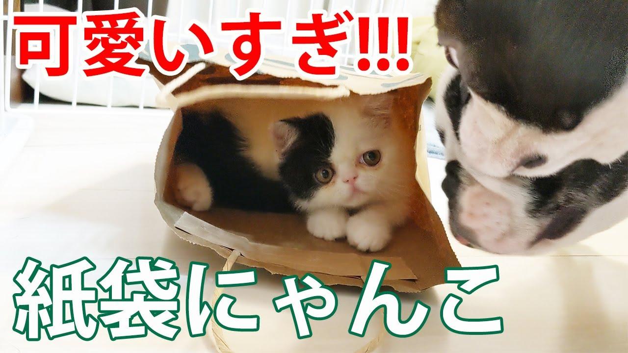 紙袋に入りたい子猫と阻止したい犬の攻防がおもしろかった!【フレブル・ボステリ・エキゾ】