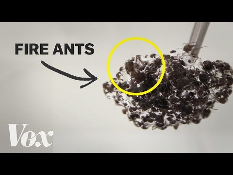 Thumbnail: The bizarre physics of fire ants