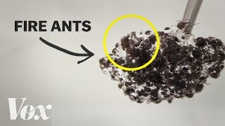 Download The bizarre physics of fire ants Mp3 and Videos
