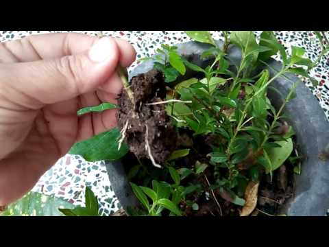 100 - How to grow Peepal /Ficus Religiosa tree from single leaf (expe. results) Hindi /Urdu- 1/8/16