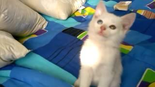 Чудо природы Кошка с сине зелеными глазами