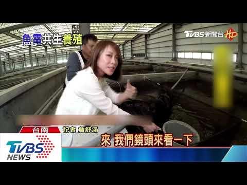 超難養筍殼魚 台南業者成功室內養殖