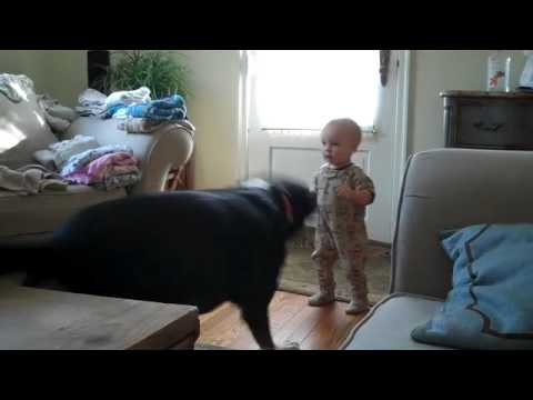Greater Swiss Mountain Dog (Charlie) Plays With Child