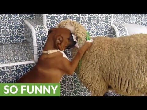 Boxer puppy can't stop kissing sheep