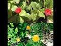 "Aptenia"" summer loving plant""🌞 Baby 👶 sun rose"