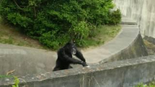 日本モンキーセンターで撮影したチンパンジー動画のまとめです.