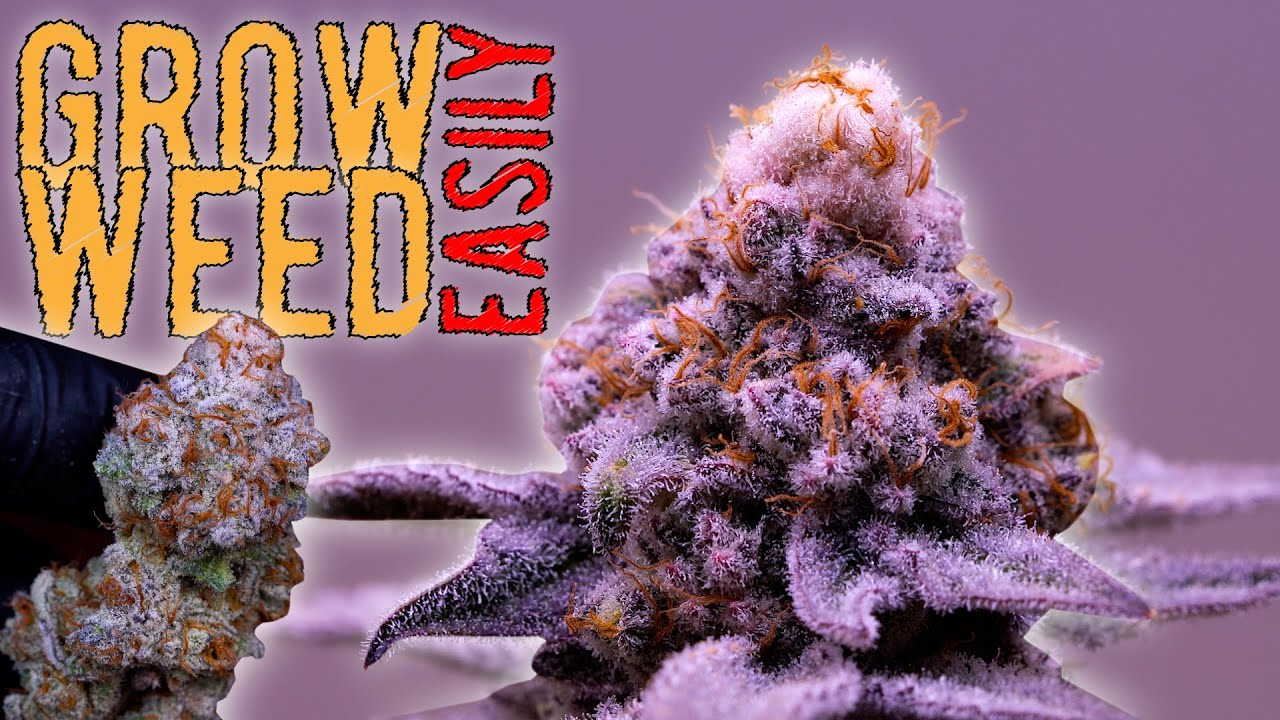 Download I FOUND MY PRIZED PHENO & REVEGGED HER! GROWING WEED FROM SEED TO HARVEST (REVEGING TIMELAPSE)