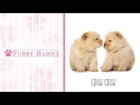 Is the Chow Chow the right breed for you?
