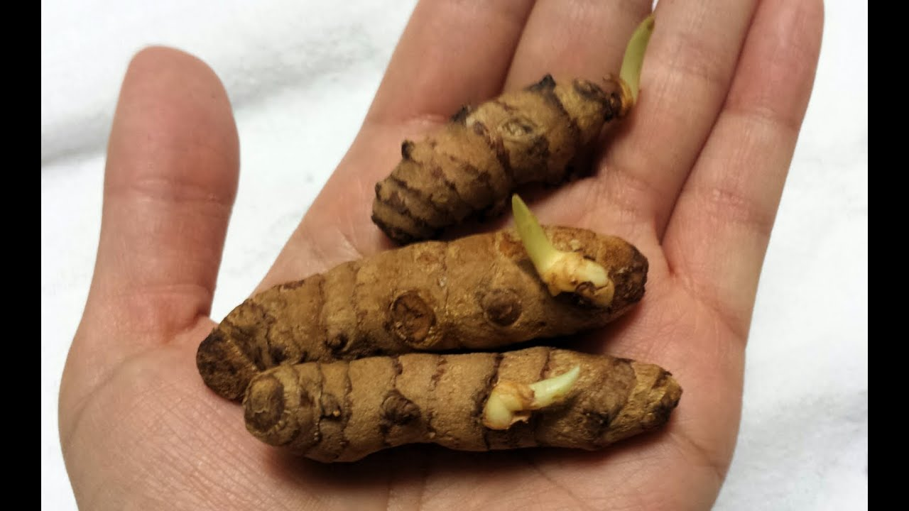 Growing Turmeric in Containers